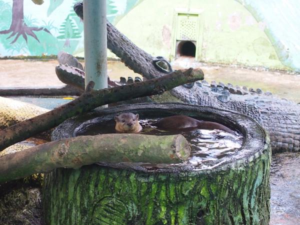 カワウソの池。5、6匹のカワウソたちが、自由に泳いでいる。