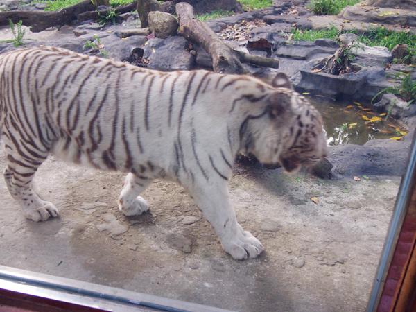 サイゴン動植物園で大人気の、ホワイトタイガー。